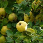 Айва-польза и вред-дерево айва