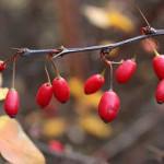 Барбарис полезные свойства и противопоказания_растение