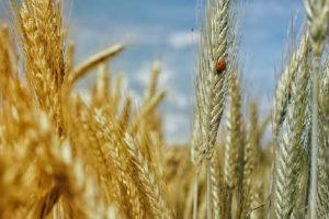Пророщенная пшеница польза и вред, советы врачей_описание