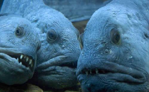 Ryba zubatka polza i vred