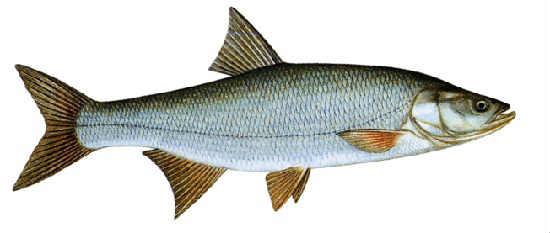 Жерех рыба фото