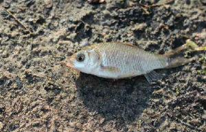 Рыба карась фото
