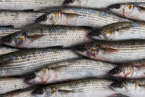 Kefal' chto za ryba3