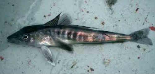 Ledjanaja ryba foto1