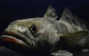 Рыба клыкач фото
