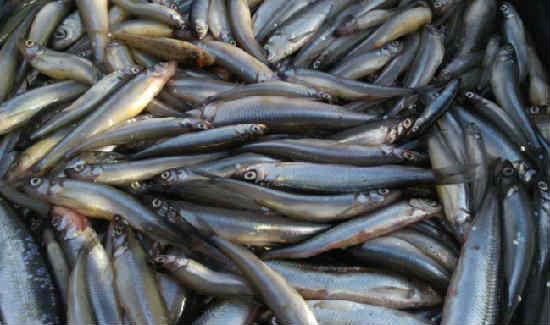 Рыба корюшка фото и описание