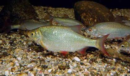 Krasnoperka, ryba, foto1