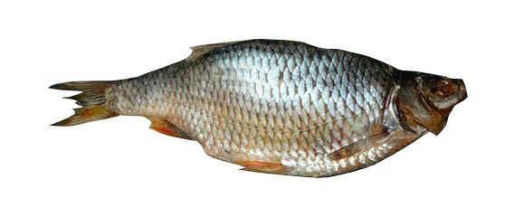 Krasnoperka, ryba, foto3