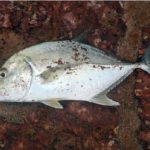 Масляная рыба польза и вред