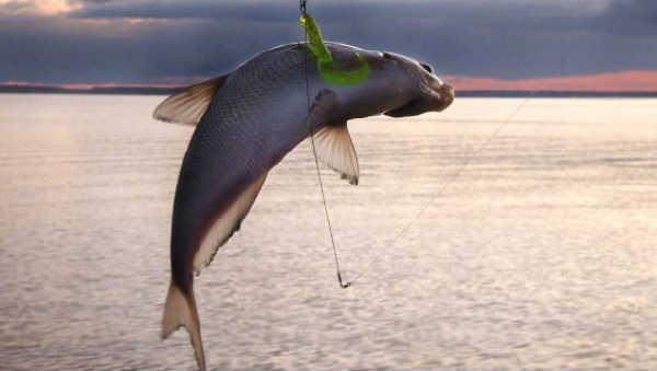 Ryba beloglazka1