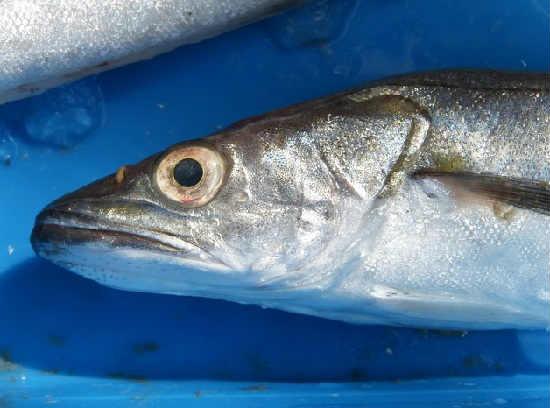 Рыба мерланг
