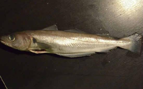 Ryba merlang2