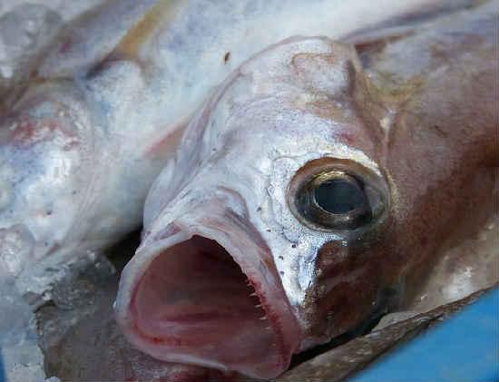 Ryba merlang3