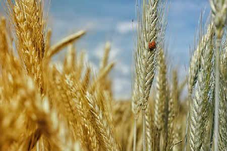 Пророщенная пшеница: польза и вред