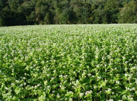 Зеленая гречка польза и вред_как растет