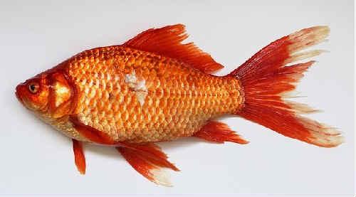 Ryba karas foto