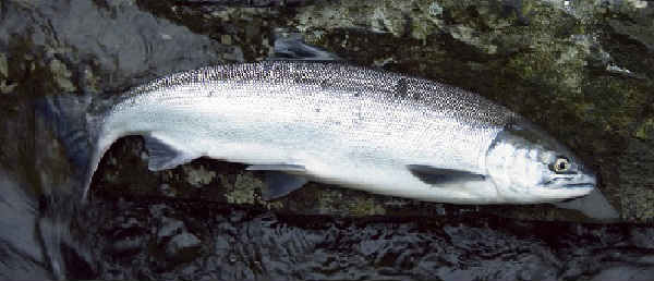 Ryba kizhuch foto2