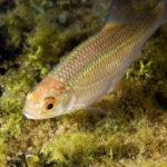 Рыба красноглазка фото
