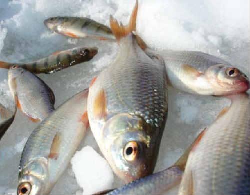 Ryba krasnoglazka foto4