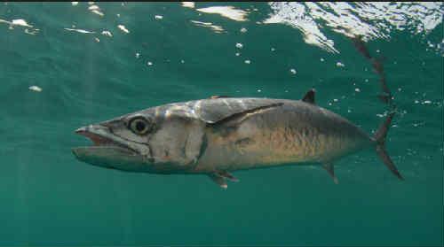 Makrel' chto za ryba3