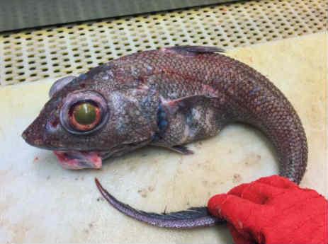 Makrurus chto za ryba kak gotovit'