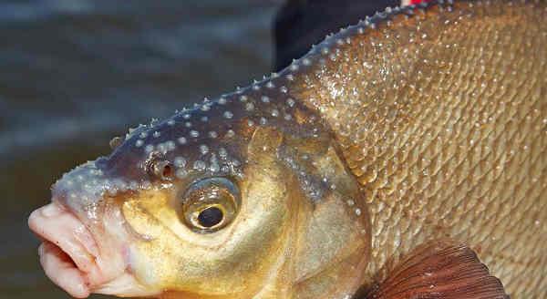 Рыба лещ: фото, описание, где водится, как выглядит
