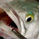 Рыба луфарь