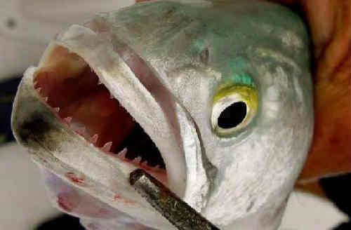 Рыба луфарь1