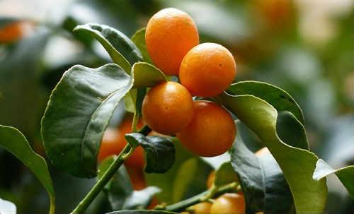 Kumkvat sushenyj poleznye svojstva i protivopokazaniya1