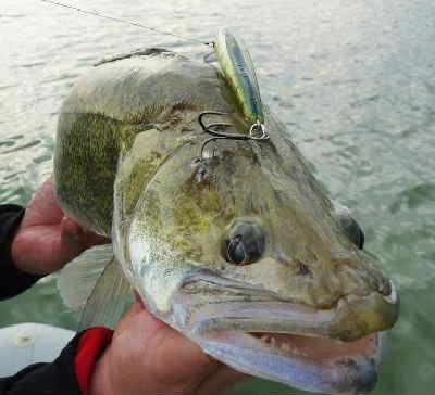 Ryba sudak foto1