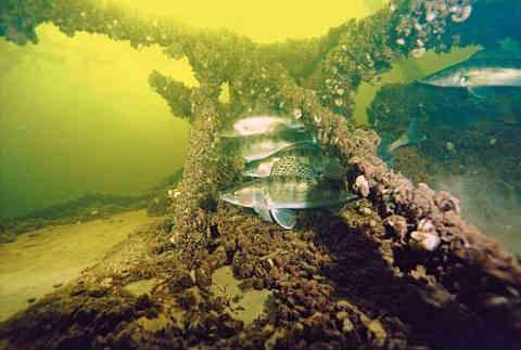 Ryba sudak foto5
