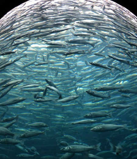 Sardiny kakaya eto ryba1