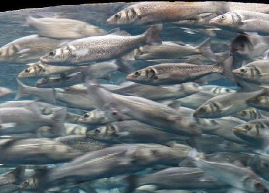 Sardiny kakaya eto ryba2