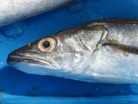 Рыба хек фото