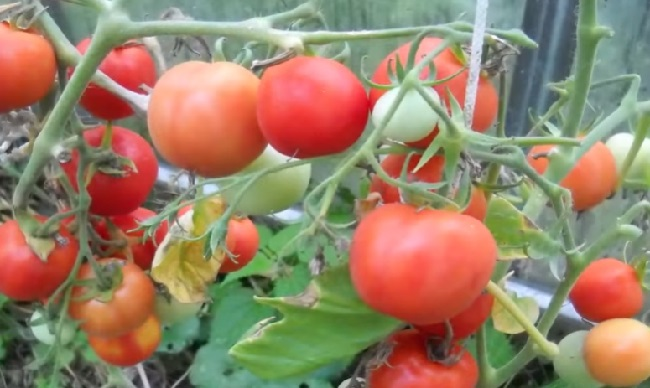 Ochen' vkusnyj sous iz sliv i pomidor na zimu1